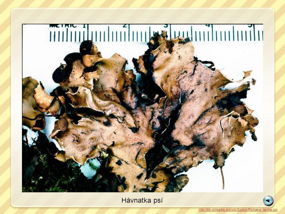 Hávnatka psí http://cs.wikipedia.org/wiki/Soubor:Peltigera_canina.jpg