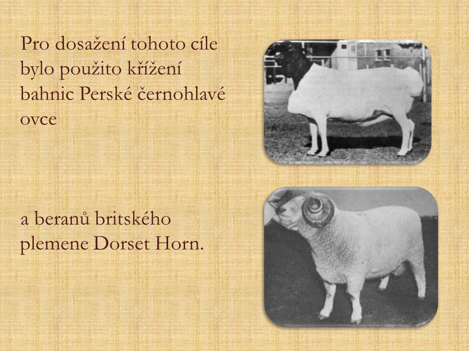 Pro dosažení tohoto cíle bylo použito křížení bahnic Perské černohlavé ovce a beranů britského plemene Dorset Horn.