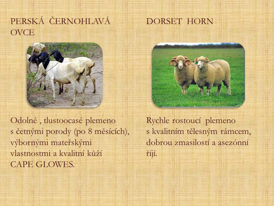 PERSKÁ ČERNOHLAVÁ OVCE