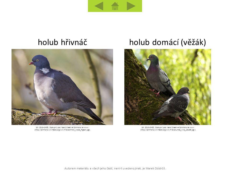 holub hřivnáč holub domácí (věžák)