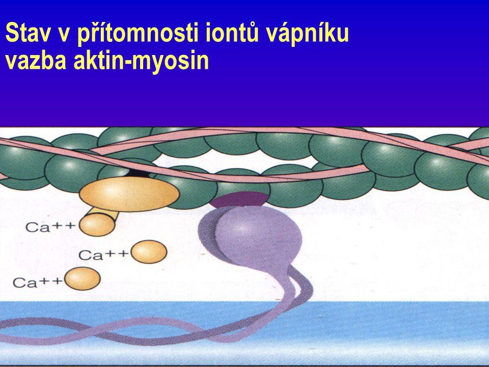 Stav v přítomnosti iontů vápníku vazba aktin-myosin