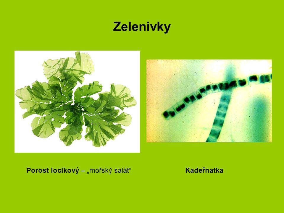 """Zelenivky Porost locikový – """"mořský salát Kadeřnatka"""