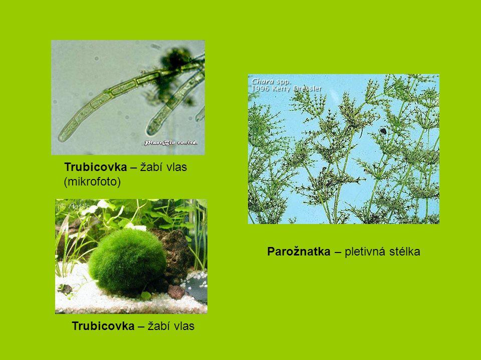 Trubicovka – žabí vlas (mikrofoto) Parožnatka – pletivná stélka Trubicovka – žabí vlas