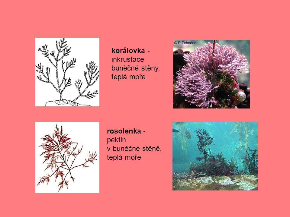 korálovka - inkrustace buněčné stěny, teplá moře rosolenka - pektin v buněčné stěně, teplá moře