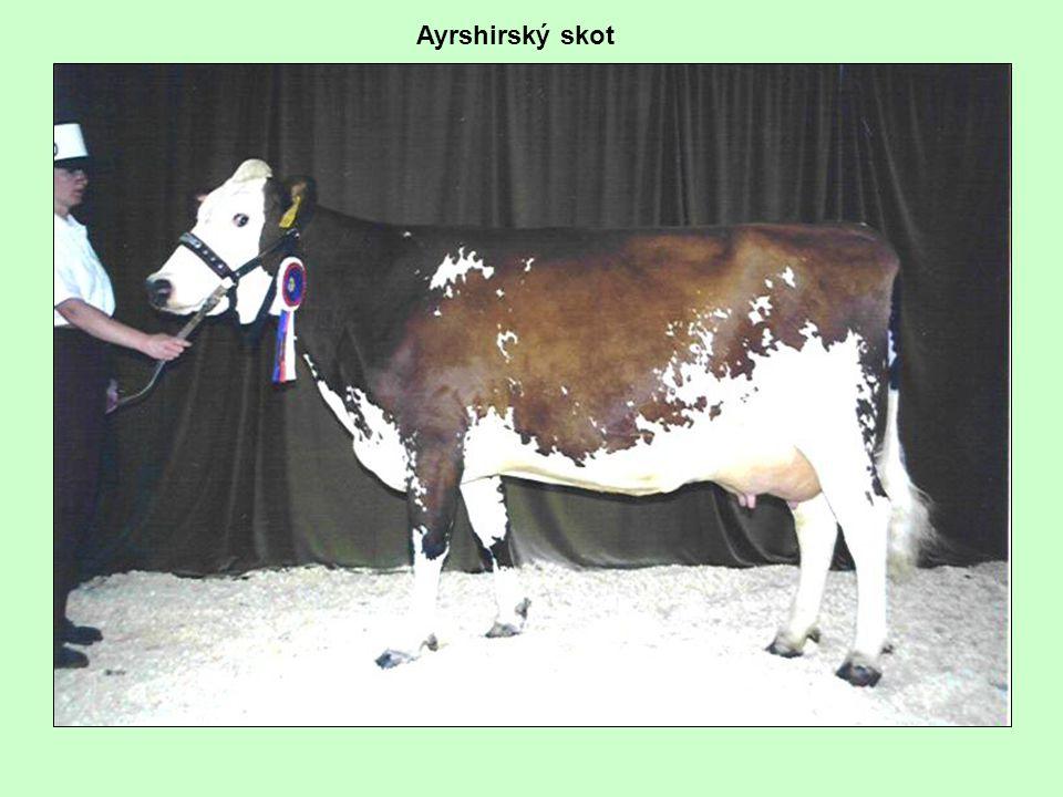 Ayrshirský skot
