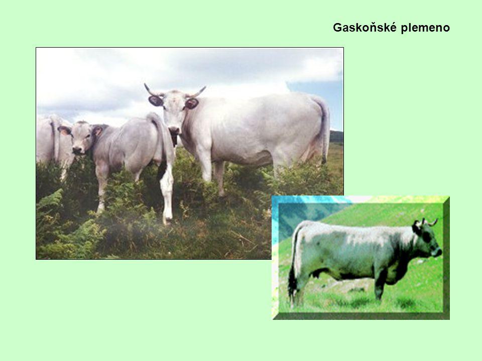 Gaskoňské plemeno