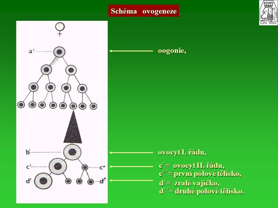 Schéma ovogeneze oogonie, ovocyt I. řádu, c´= ovocyt II. řádu, c´´= první pólové tělísko, d´= zralé vajíčko,