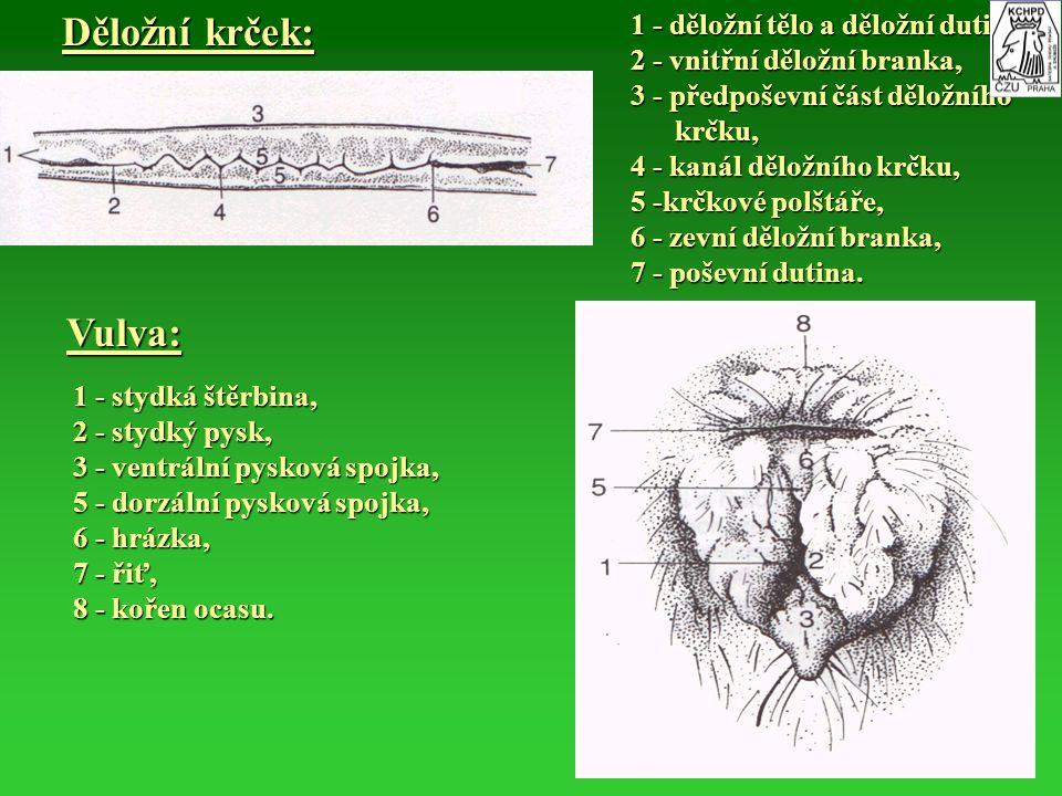 Děložní krček: Vulva: 1 - děložní tělo a děložní dutina,