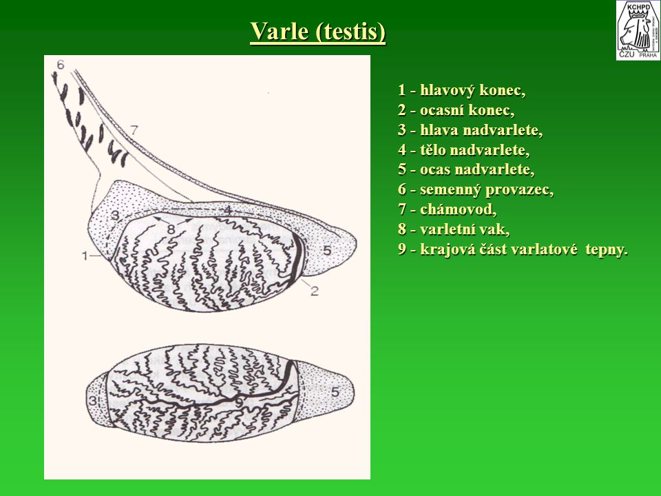 Varle (testis) 1 - hlavový konec, 2 - ocasní konec,