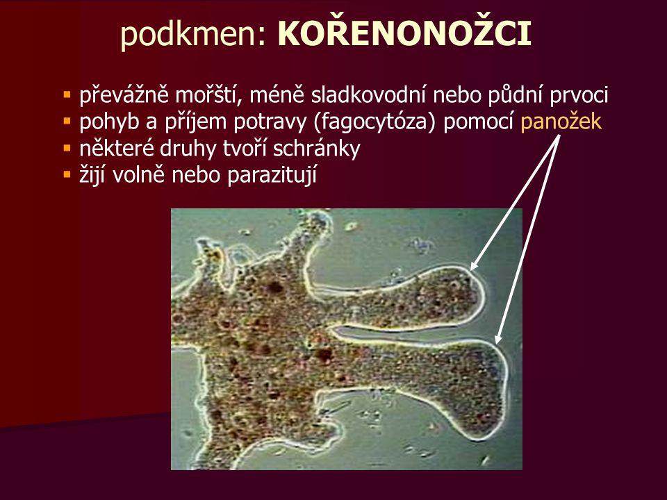 podkmen: KOŘENONOŽCI převážně mořští, méně sladkovodní nebo půdní prvoci. pohyb a příjem potravy (fagocytóza) pomocí panožek.