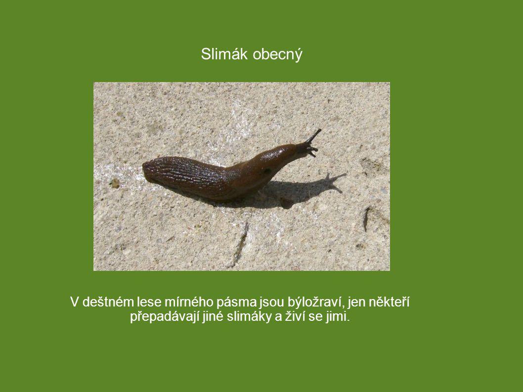 Slimák obecný V deštném lese mírného pásma jsou býložraví, jen někteří