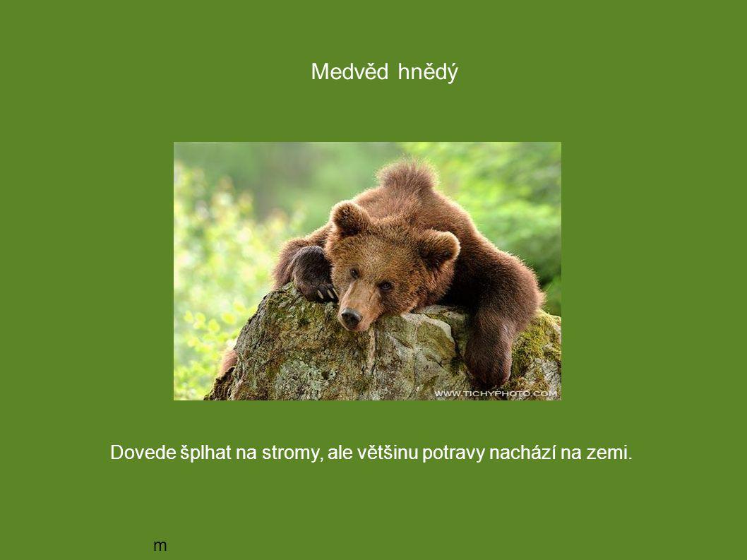 Medvěd hnědý Dovede šplhat na stromy, ale většinu potravy nachází na zemi. medvěd