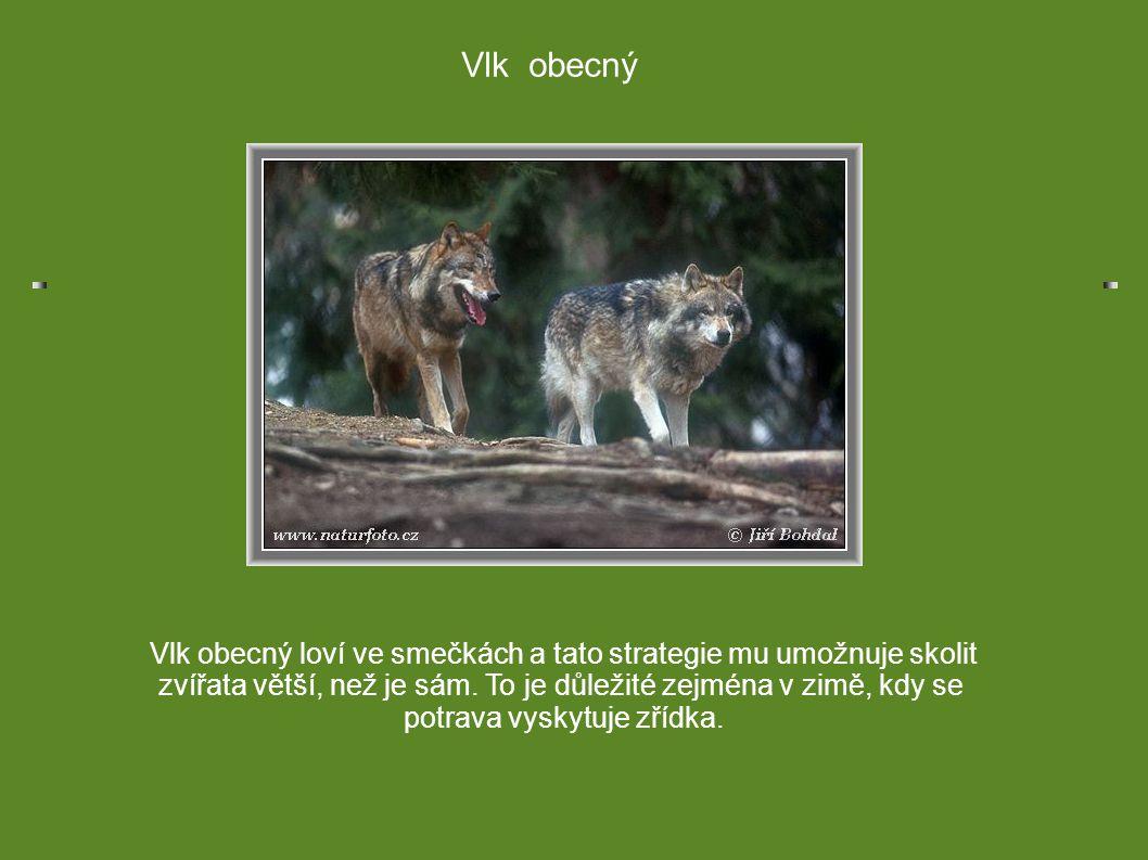 Vlk obecný Vlk obecný loví ve smečkách a tato strategie mu umožnuje skolit. zvířata větší, než je sám. To je důležité zejména v zimě, kdy se.