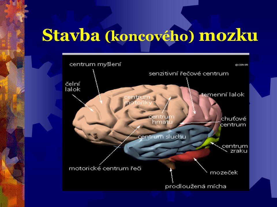 Stavba (koncového) mozku