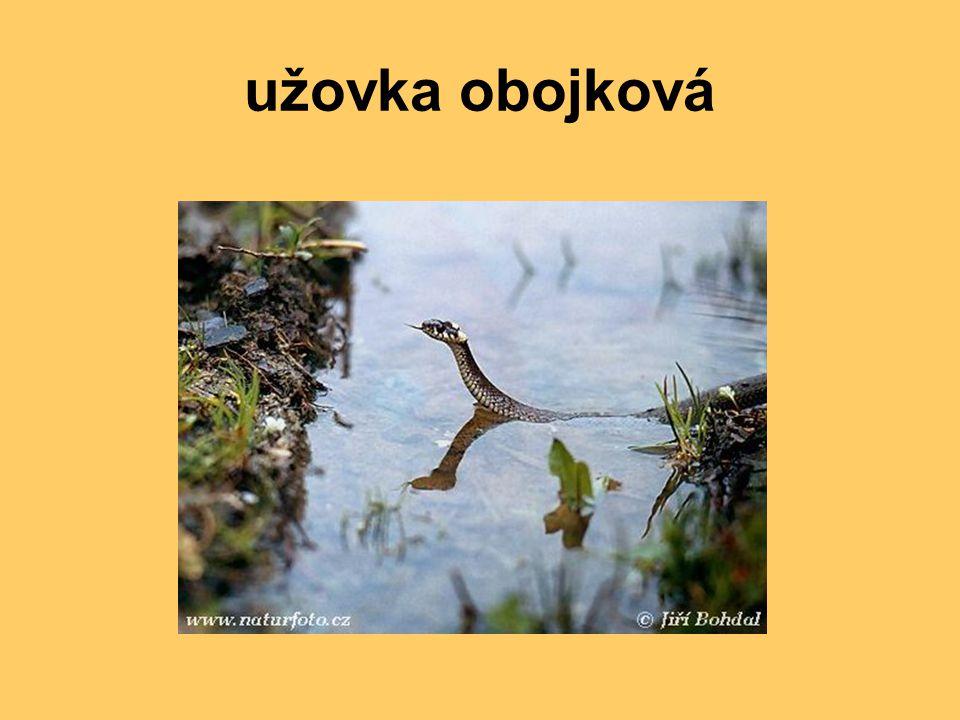užovka obojková