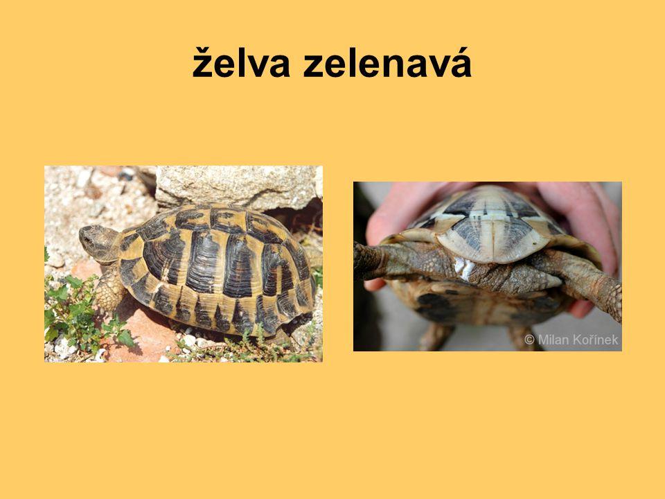 želva zelenavá