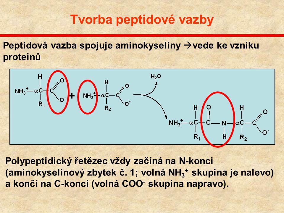 Tvorba peptidové vazby