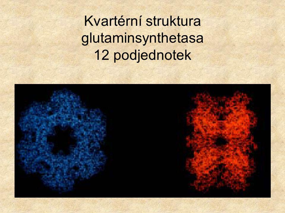 Kvartérní struktura glutaminsynthetasa 12 podjednotek