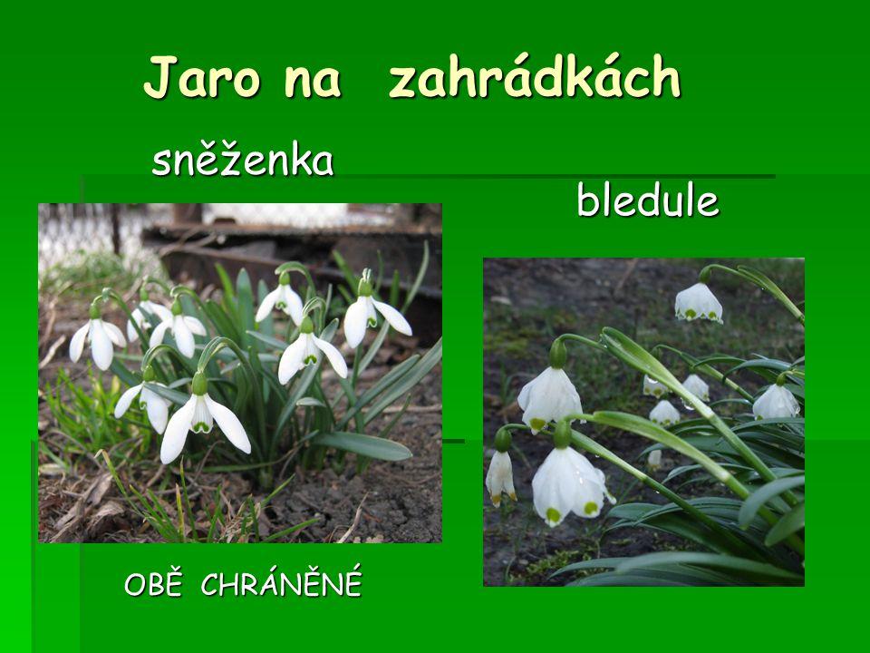 Jaro na zahrádkách sněženka OBĚ CHRÁNĚNÉ bledule