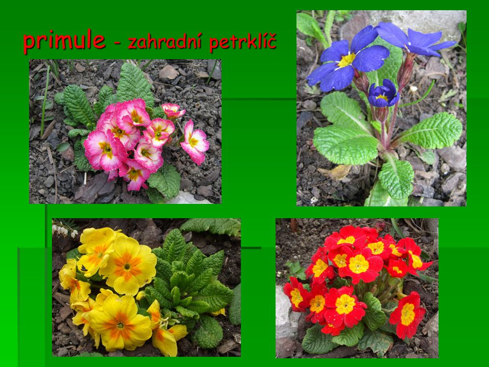 primule - zahradní petrklíč