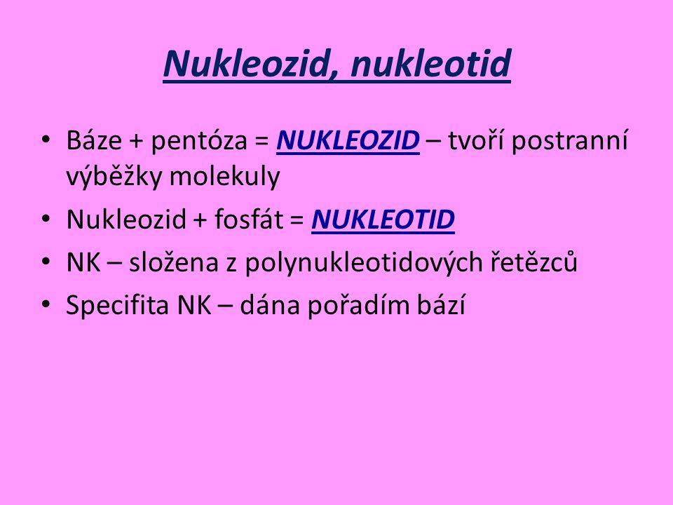 Nukleozid, nukleotid Báze + pentóza = NUKLEOZID – tvoří postranní výběžky molekuly. Nukleozid + fosfát = NUKLEOTID.