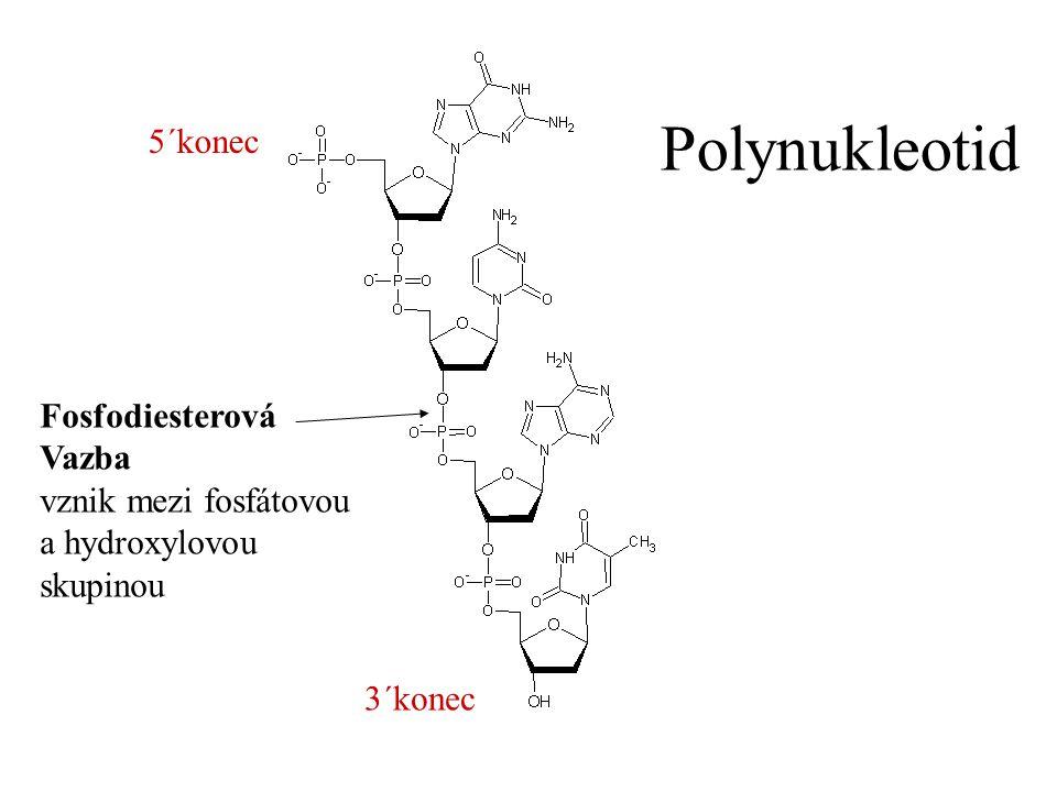 Polynukleotid 5´konec Fosfodiesterová Vazba vznik mezi fosfátovou