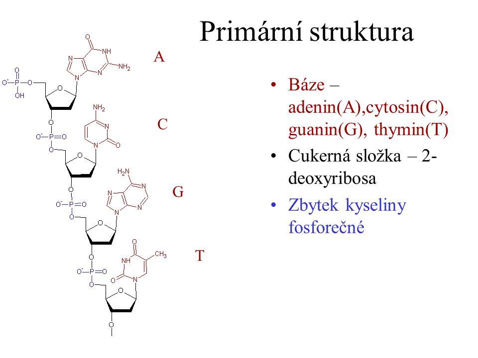 Primární struktura Báze – adenin(A),cytosin(C), guanin(G), thymin(T)