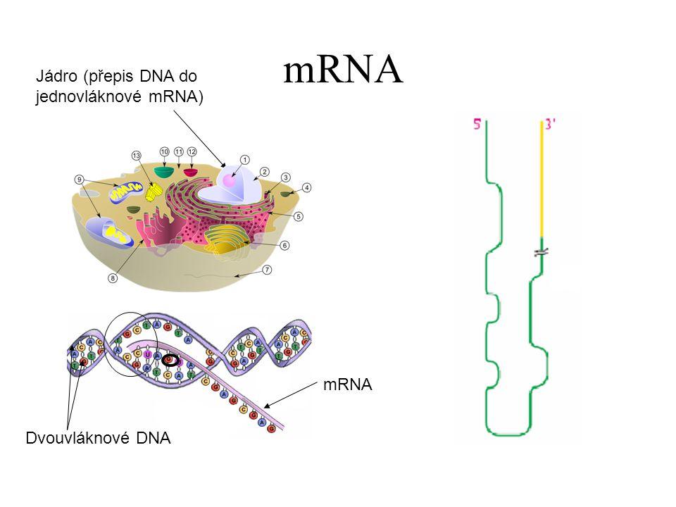 mRNA Jádro (přepis DNA do jednovláknové mRNA) mRNA Dvouvláknové DNA