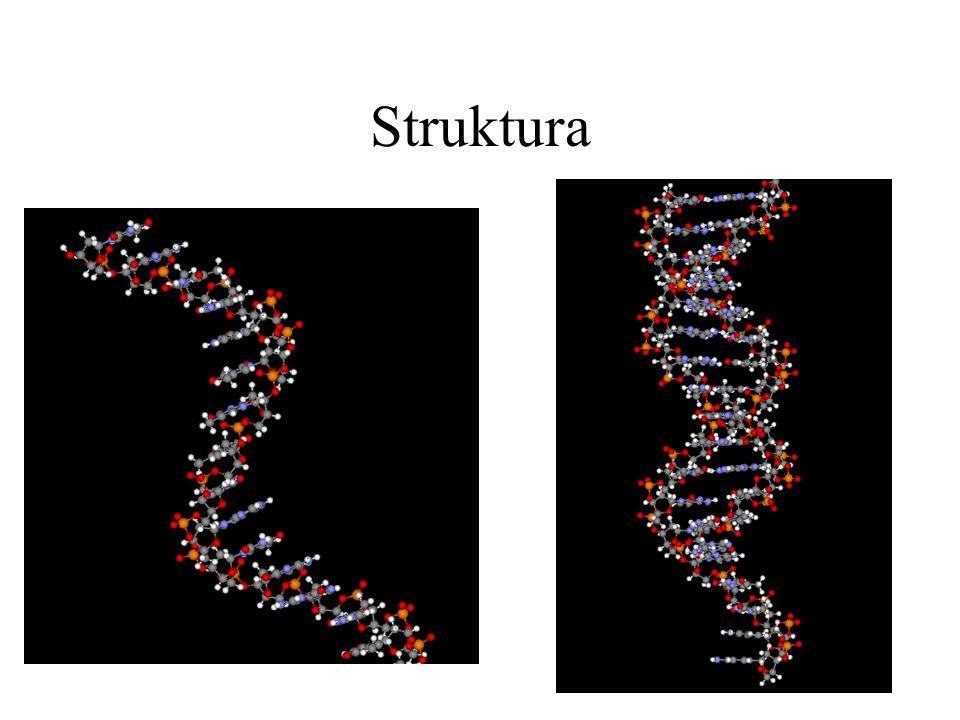 Struktura Nukleové kyseliny se vyskytují v řetězcích, které jsou buď jednoduché nebo zdvojené.