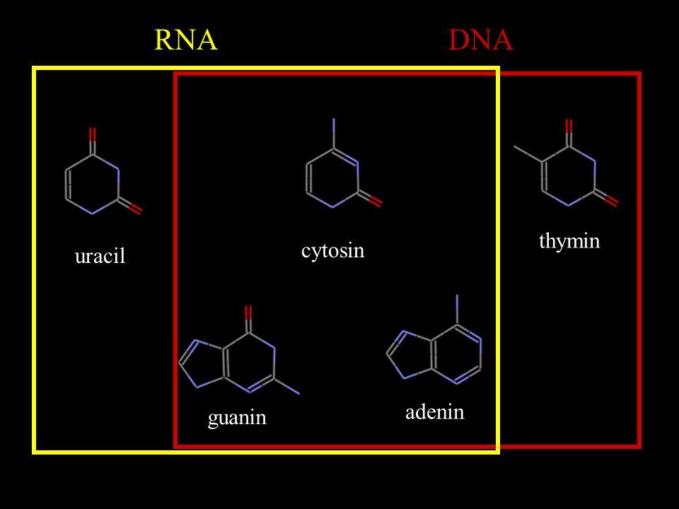 RNA DNA thymin cytosin uracil adenin guanin