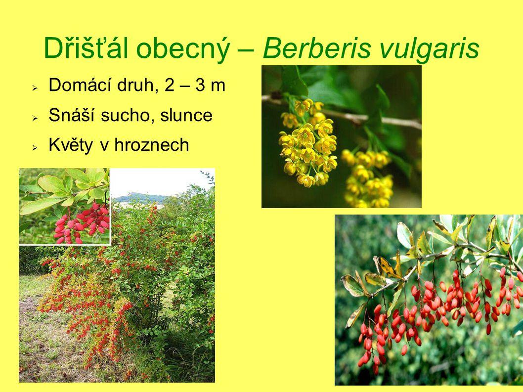 Dřišťál obecný – Berberis vulgaris