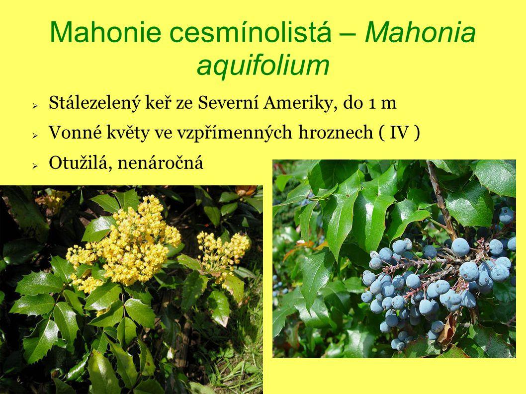 Mahonie cesmínolistá – Mahonia aquifolium