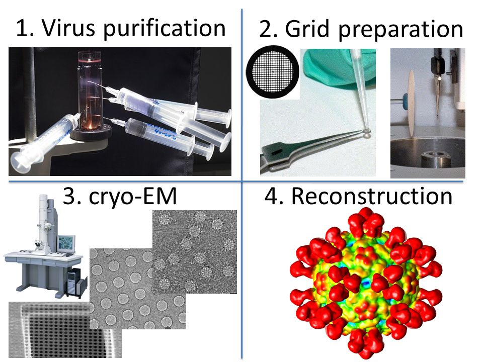 1. Virus purification 2. Grid preparation 3. cryo-EM 4. Reconstruction