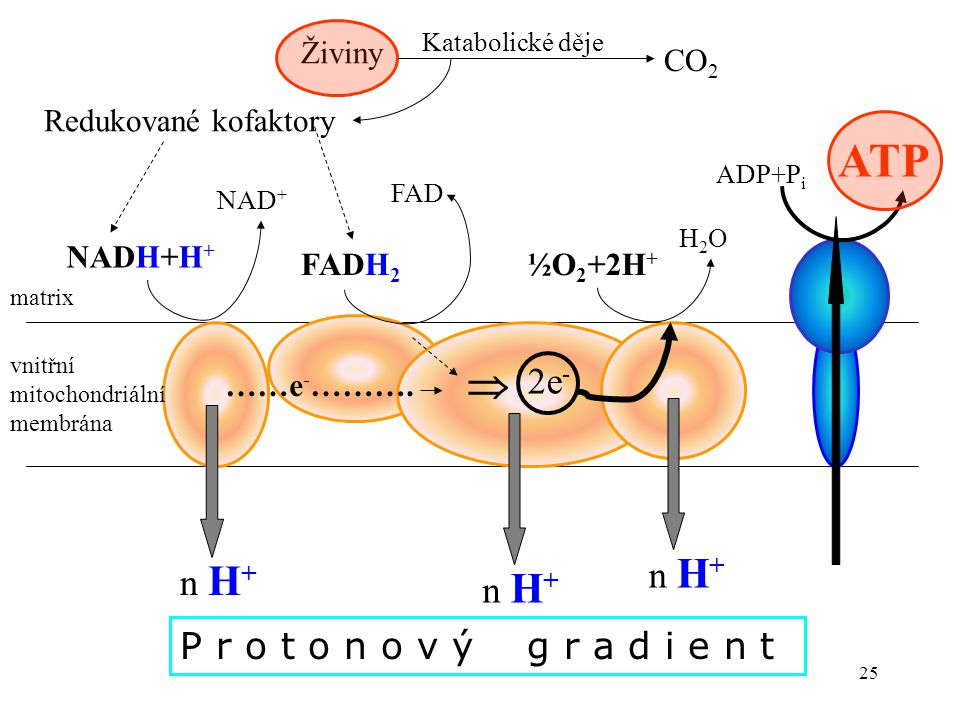 ATP  2e- n H+ n H+ n H+ P r o t o n o v ý g r a d i e n t Živiny CO2