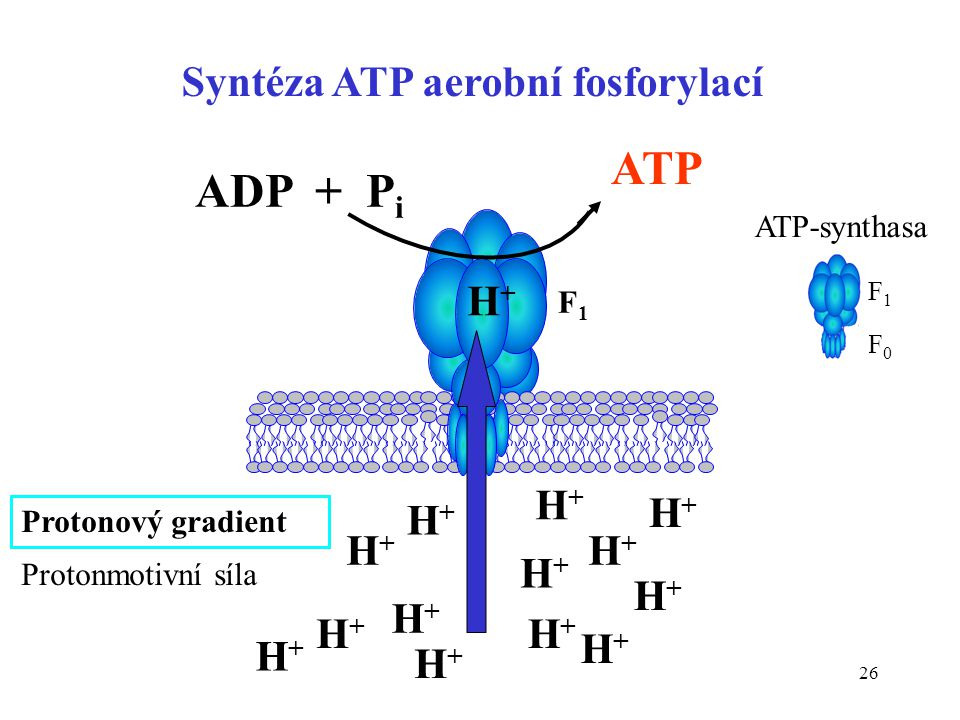 Syntéza ATP aerobní fosforylací