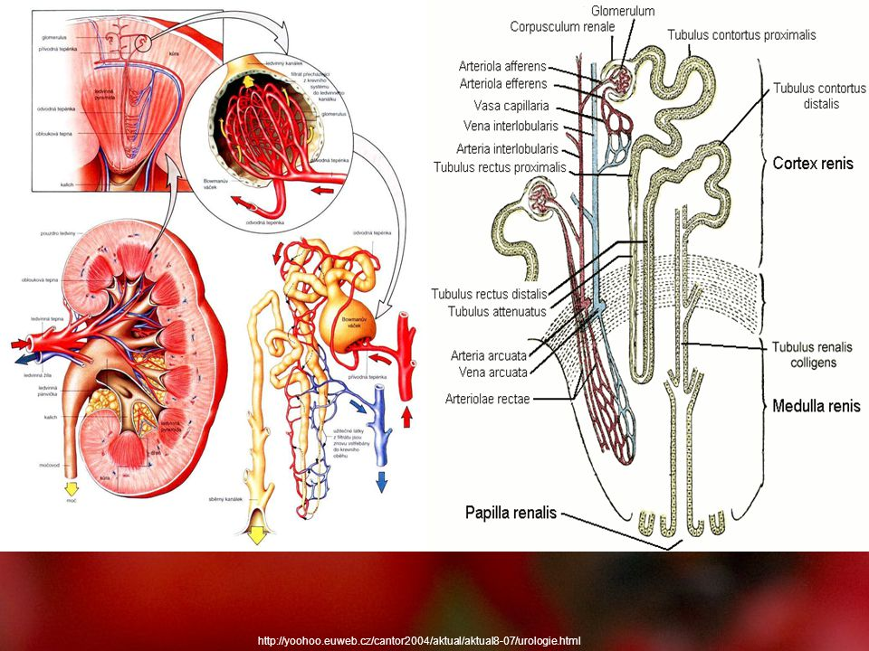 http://yoohoo.euweb.cz/cantor2004/aktual/aktual8-07/urologie.html