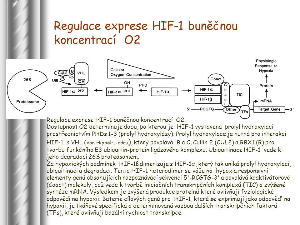 Regulace exprese HIF-1 buněčnou koncentrací O2