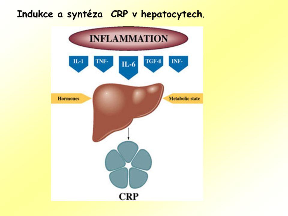 Indukce a syntéza CRP v hepatocytech.