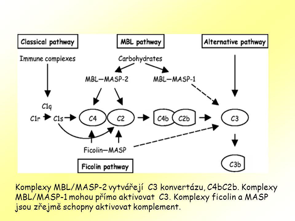 Komplexy MBL/MASP-2 vytvářejí C3 konvertázu, C4bC2b