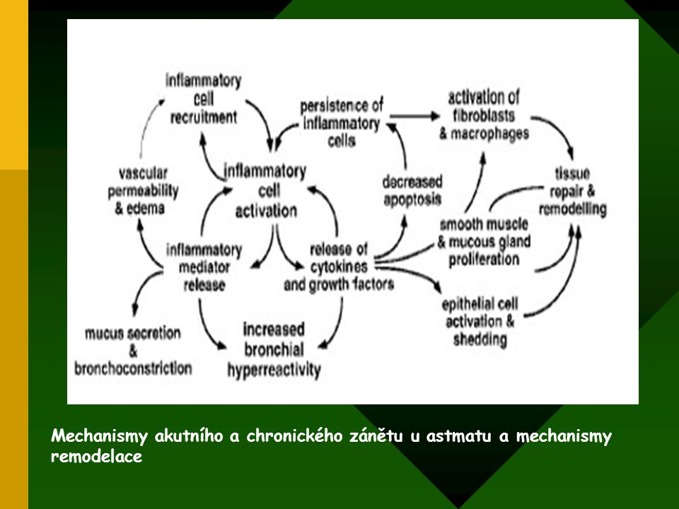 Mechanismy akutního a chronického zánětu u astmatu a mechanismy remodelace