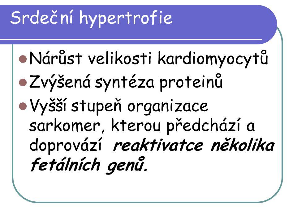 Srdeční hypertrofie Nárůst velikosti kardiomyocytů