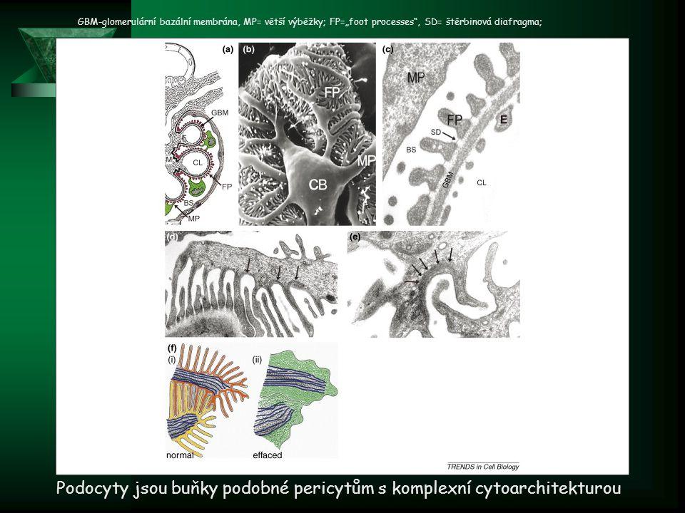 Podocyty jsou buňky podobné pericytům s komplexní cytoarchitekturou