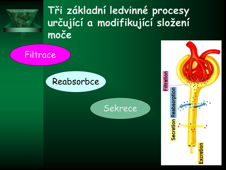 Tři základní ledvinné procesy určující a modifikující složení moče