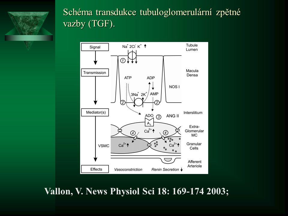 Schéma transdukce tubuloglomerulární zpětné vazby (TGF).