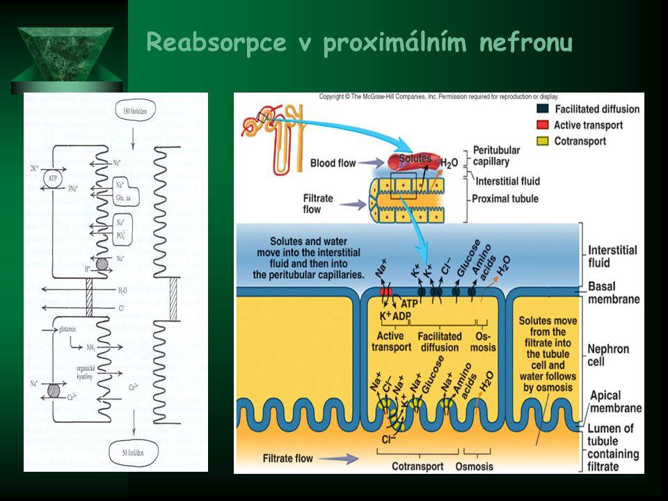 Reabsorpce v proximálním nefronu