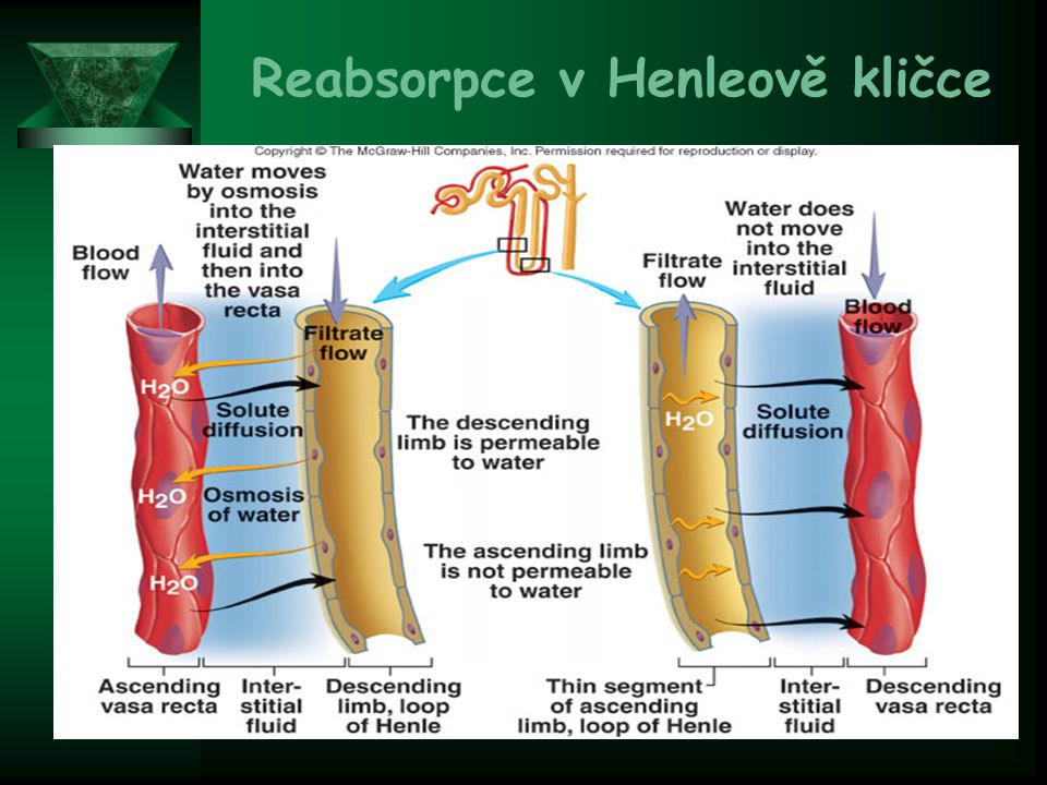 Reabsorpce v Henleově kličce