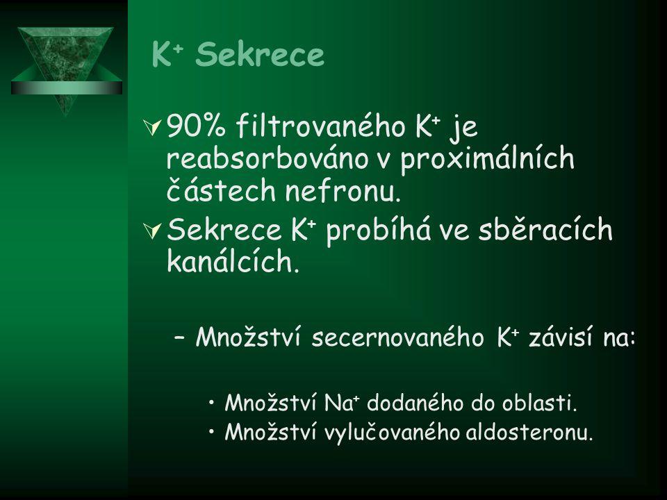 K+ Sekrece 90% filtrovaného K+ je reabsorbováno v proximálních částech nefronu. Sekrece K+ probíhá ve sběracích kanálcích.