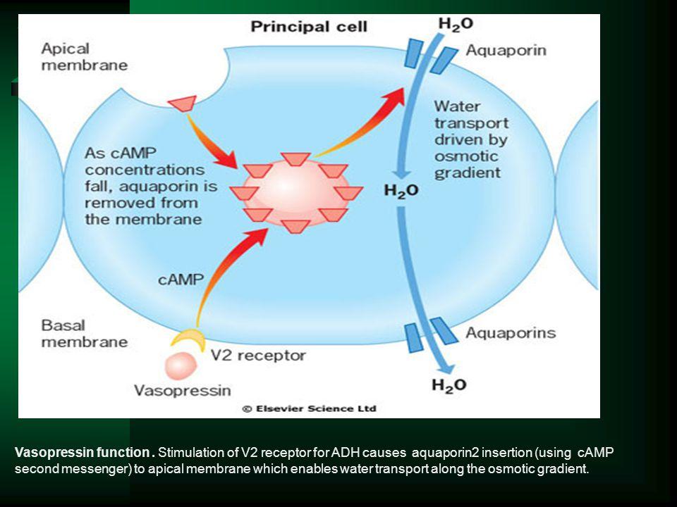 Vasopressin function .