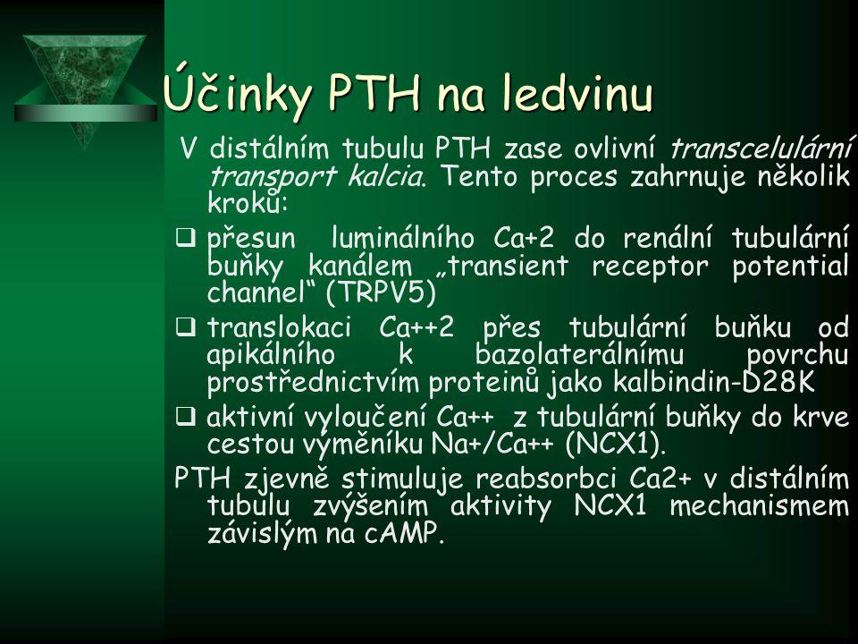 Účinky PTH na ledvinu V distálním tubulu PTH zase ovlivní transcelulární transport kalcia. Tento proces zahrnuje několik kroků: