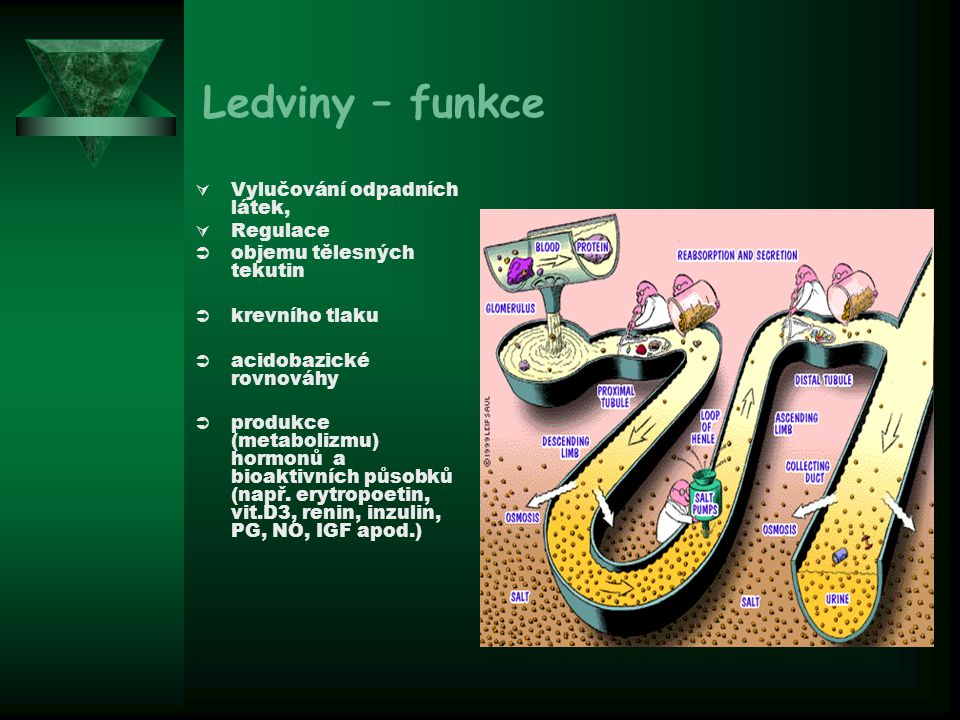Ledviny – funkce Vylučování odpadních látek, Regulace